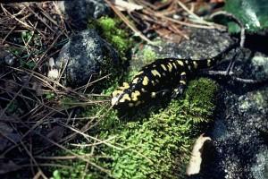 onf-medialib-00000049_salamandre