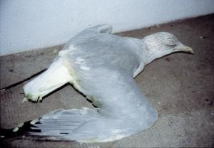 Géoland argenté botulinique